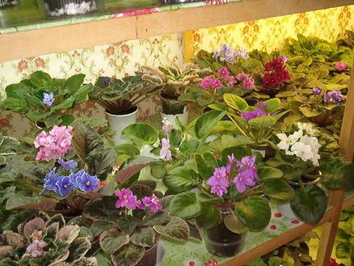хризантема уход в домашних условиях болезни их лечение.